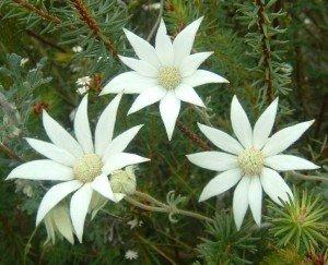 Flannel Flower - Bush Flower Remedies